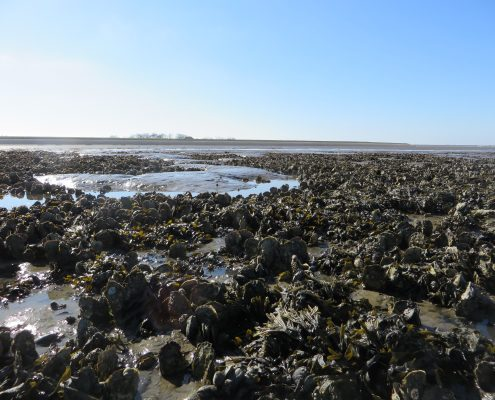 Pacific oyster bed